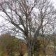 le plus vieux hêtre d'altitude d'Europe